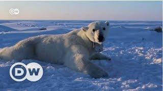 Kutup ayılarının açlıkla mücadelesi - DW Türkçe