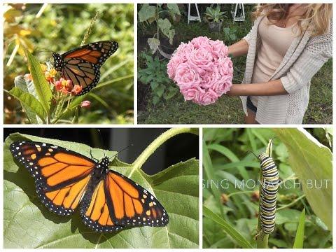 Garden Vlog: Raising Monarch Butterflies