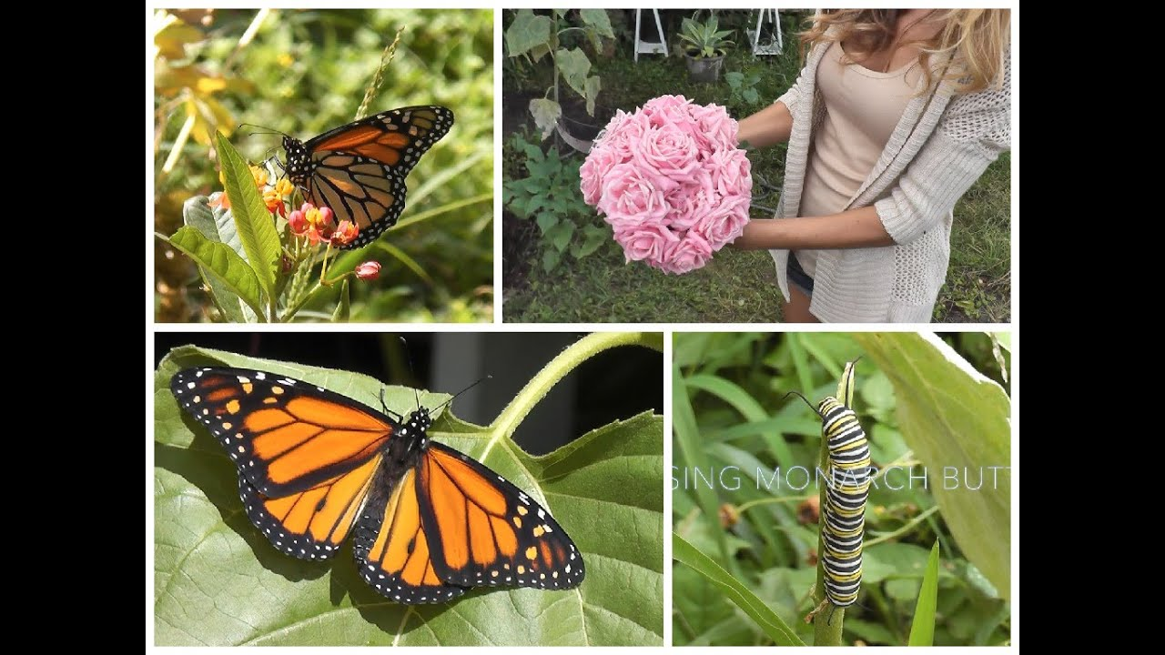 Garden Vlog: Raising Monarch Butterflies   YouTube