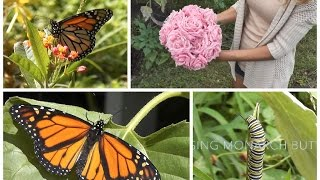 Garden Vlog: Raising Monarch Butterflies