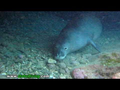 Monk Seal Hawaii - Monk Seals in Oahu - Hawaiian Monk Seals