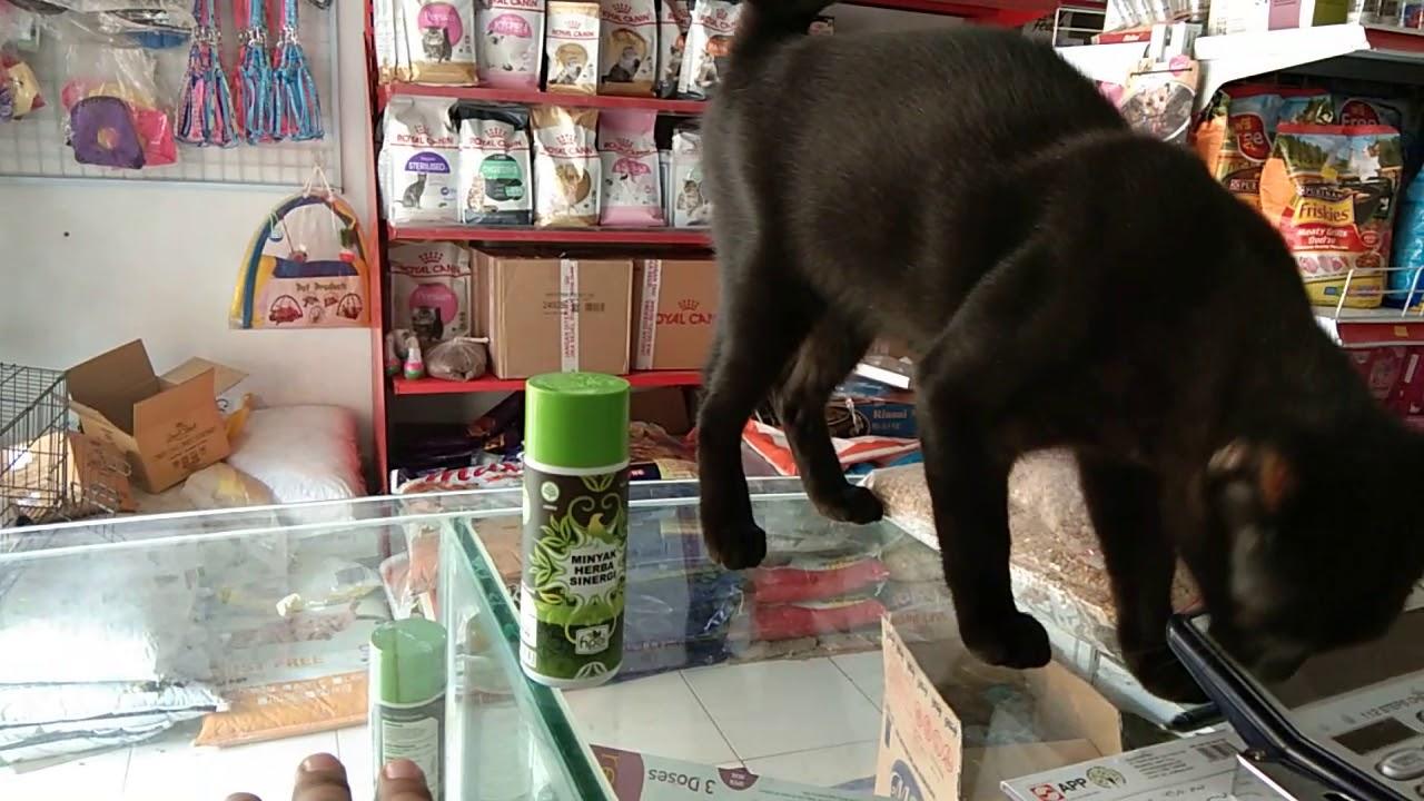 Kucing Hitam Bintang Iklan Minyak Butbut Rumput Gandum Dan Obat Earmite Youtube