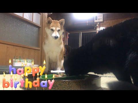 猫のご飯から目が離せない柴犬、6歳の誕生日 6th birthday!
