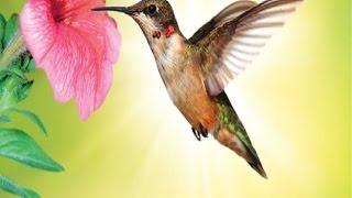 Sinek kuşları hakkında bilmedikleriniz Bilgimatik 6.Program