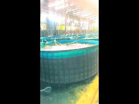 udang vanami kolam bundar