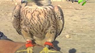 Два ямальских сокола-сапсана пойманы в Ливии и Ираке