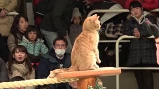 なかなか見れない猫によるショー ザ・キャッツ 那須どうぶつ王国へ行っ...