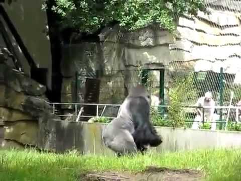 Gorilla Throws Poop Youtube