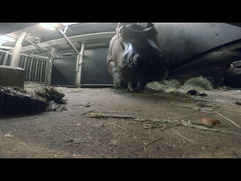 Video na přání: Hroší samec Tchéco (Jozef Sebíň)