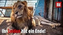 Kranke Löwen aus Horror-Zoo gerettet