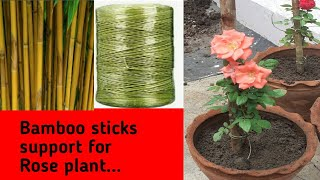 Utilize #Bamboo sticks #support for Rose plant with plastic rope tie🥀
