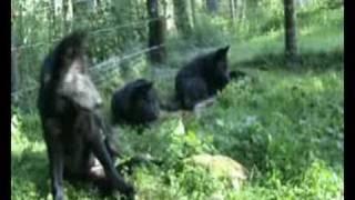 Wolf pups playing