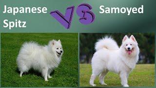 Japanese Spitz VS Samoyed  Breed Comparison  Samoyed and Japanese Spitz Differences