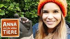 Warum buddelt der Maulwurf? (Doku) | Reportage für Kinder | Anna und die wilden Tiere
