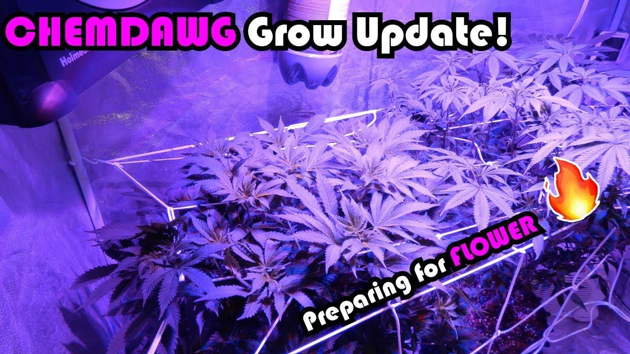 Chemdawg Grow Series Week 8 Vegetation: Preparing for Flower