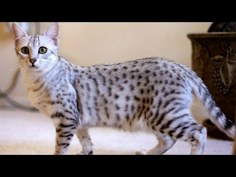 Египетская Мау, Уход и содержание, Породы кошек.