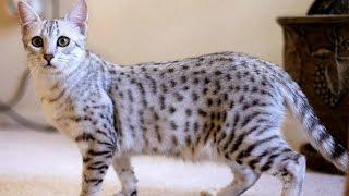 Египетская Мау, Уход и содержание, Породы кошек