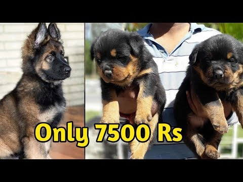 Pomeranian puppy And German shepherd Available / cheap price