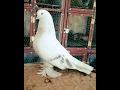 2017 ŞANLIURFA ŞEBAP KUŞU SERGİSİ- 70 MİLYAR lık Şebap, Seferli, Oyunlu Kuşlar, Taklacı, Pahallı kuş