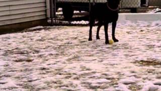 Pretty Rottweiler Trudy For Adoption