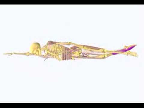 muscoli coinvolti nel nuoto stile libero