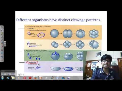Cleavage and furrowing of zygote, morula | Developmental biology lecture thumbnail