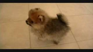 Pomeranian Puppies.wmv