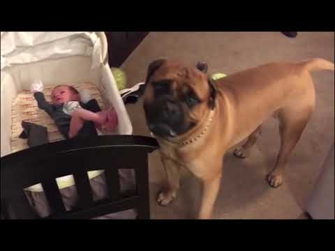 30 Funny moments of an English bullmastiff puppy - Captainbrutus - Part 3