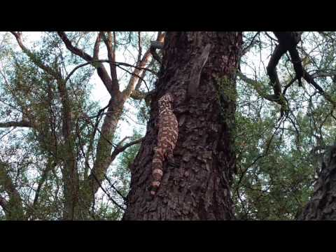 Gila Monster is climbing the tree after spotting a rattlesnake