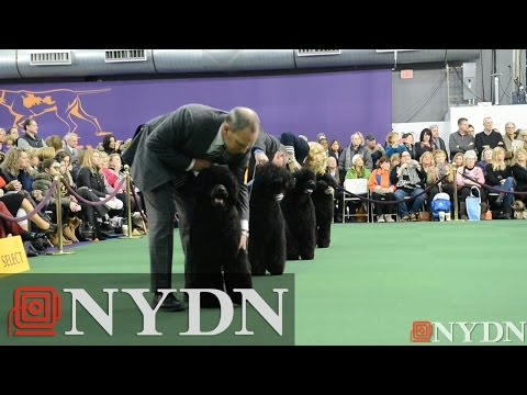 Cousin of Obama dog wins Best of Breed at Westminster Kennel Club Dog Show