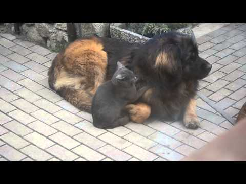 Leonberger Nando and his cat friend