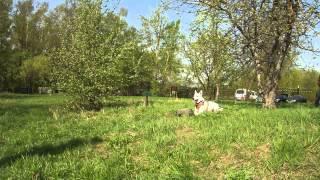 охрана вещи(Видео с одной из наших тренировок по охране вещи из комплекса ЗКС. Белая швейцарская овчарка Азур Из Созвез..., 2012-05-05T18:41:08.000Z)