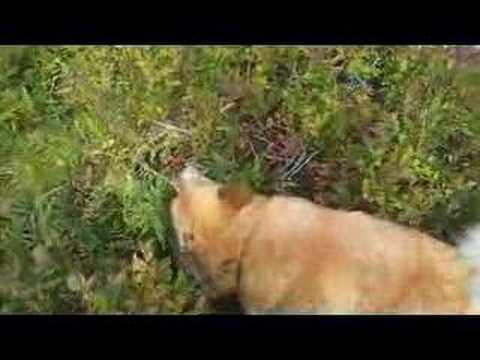 Icelandic Sheepdog Eating Blueberries