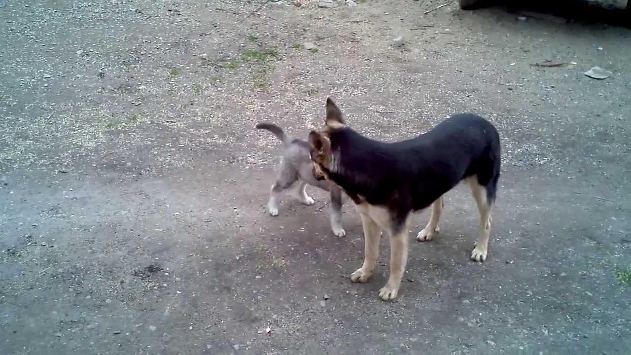 Husky vs German Shepherd Dog - Fight pretty - YouTube