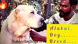 world biggest dog breed in Islamabad Central Asian Shepherd  @DOGS IN RAWALPINDI