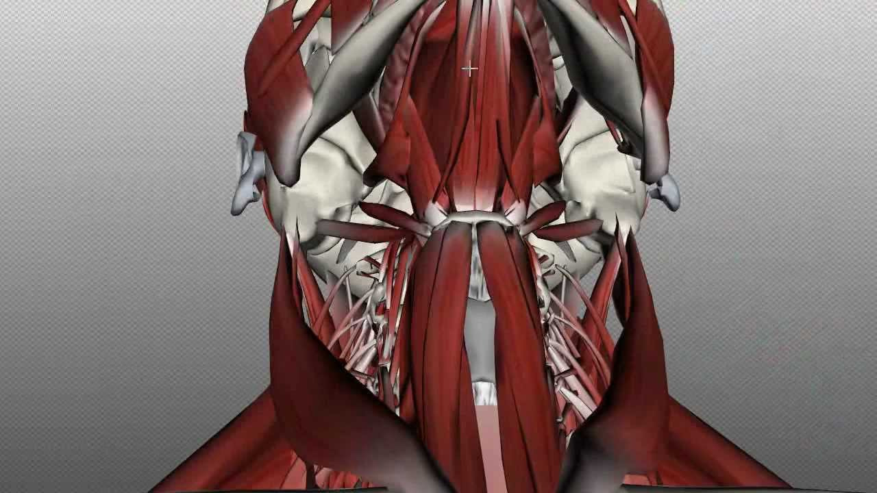 Neck Muscles Anatomy - Anterior Triangle - Part 1 - YouTube