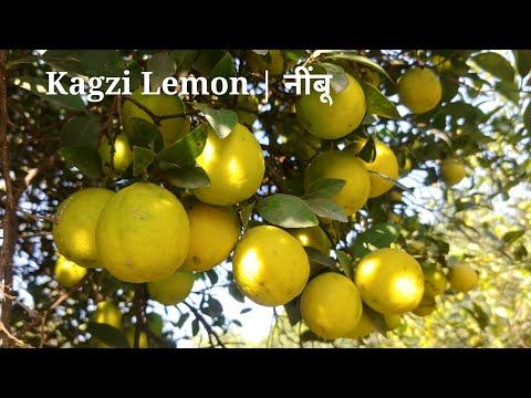 Grow Kagzi Lemon From Seed Or Air Layering | कागजी नींबू