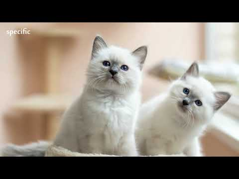 Details about Birman Specific information about animals  Animal wikipedia series animal