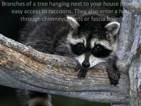 How To Get Rid Of Raccoons In Attic Youtube