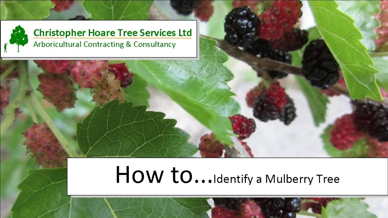 How to identify a Mulberry tree