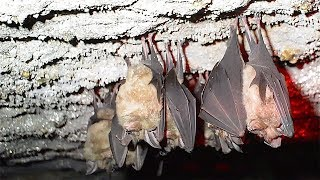 親子ら30人がコウモリ観察 千葉・いすみの人工洞窟 thumbnail