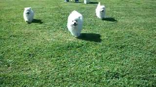 Japanese Spitz Puppies First Day At The Park