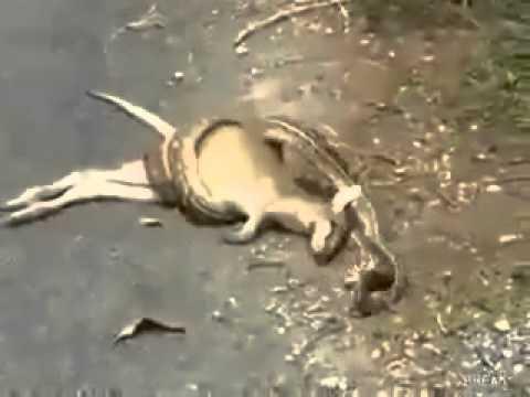 Python snake eating deer