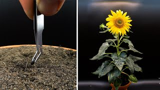 Growing Sunflower Time Lapse - Seed To Flower In 83 Days