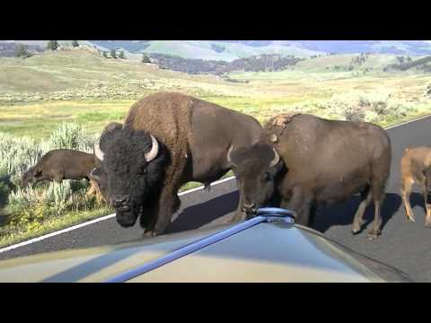 BISON STOPS CAR IN YELLOWSTONE