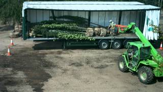 Mature trees being prepared for transport