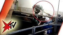 Skandal? Nach Tierquälerei in Schlachthof Ermittlungen gegen Amtstierärzte eingestellt | stern TV