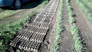 Восточный Казахстан  Выращивание моркови в  яичных контейнерах