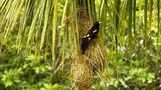 Xexéu em nidificação, Cacicus cela, Yellow-rumped Cacique, Colônia de Ave tecelão, Japiim,