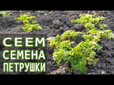 Сеем Петрушку в открытый грунт весной. Как посадить семена петрушки. Посев петрушки в грунт | посадить | петрушку | петрушки | петрушка | открытый | грядке | весной | посев | грунт | сеем